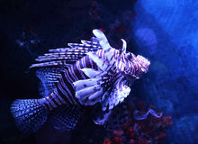 Lion fish. Beautiful lion fish swimming on a sea on aquarium Royalty Free Stock Photography