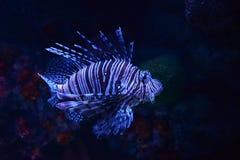 Lion fish. Beautiful lion fish swimming on a sea on aquarium Royalty Free Stock Image