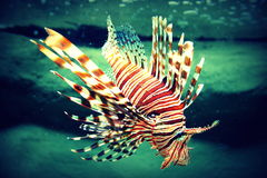 Lion Fish. Beautiful Lion Fish in tropical waters, Vietnam royalty free stock image