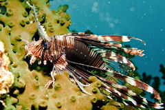 Lion fish. Brown Lion fish under the sea Stock Photo