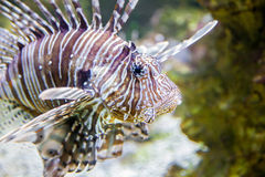 Lion fish. Captive Lion fish in French aquarium Royalty Free Stock Images