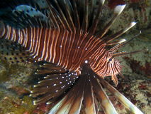 Lion Fish, cayman Royalty Free Stock Photo