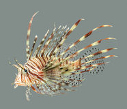 Lion fish close up. On grey background Royalty Free Stock Photo