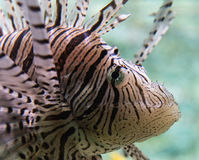 Lion Fish Close up Stock Photos