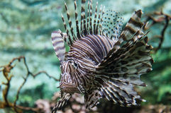 Lion Fish Close up Royalty Free Stock Images
