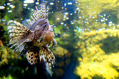 Lion fish. Clouse up lion fish in aquarium Stock Image