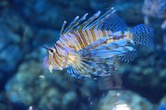 Lion fish Stock Photos