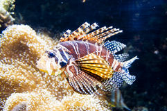 Lion fish. Colorful lion fish in its habitat Stock Image