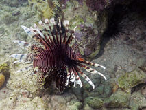 Lion Fish in Cuba Royalty Free Stock Photography