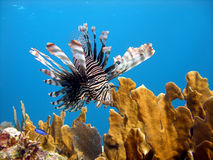 Lion Fish, deadly predator. A Red Lion Fish hunts over the coral reef and bright orange fire coral protected by its long venomous spines.  Graceful and beautiful Royalty Free Stock Photography