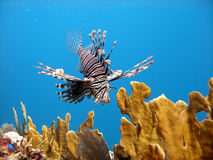 Lion Fish, deadly predator. A Red Lion Fish hunts over the coral reef and bright orange fire coral protected by its long venomous spines.  Graceful and beautiful Stock Images