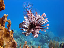 Lion Fish, deadly predator. A Red Lion Fish hunts over the coral reef and bright orange fire coral protected by its long venomous spines.  Graceful and beautiful Stock Image