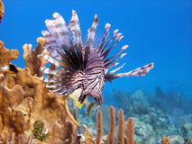 Lion Fish, deadly predator. A Red Lion Fish hunts over the coral reef protected by its long venomous spines.  Graceful and beautiful, this fish can move at Royalty Free Stock Photography