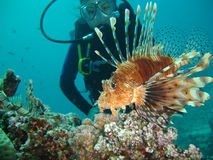 Lion Fish with Diver. Hunting Lion Fish on Coral,dive in background stock image