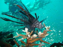 Lion Fish & Divers royalty free stock photography