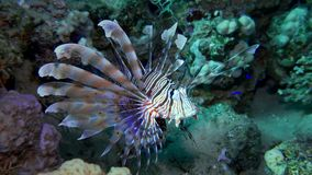 Lion fish. Diving in the Red sea near Egypt. stock video footage