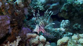Lion fish. Diving in the Red sea near Egypt. stock footage