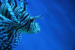 Lion fish (dragonfish, scorpionfish) Royalty Free Stock Photos
