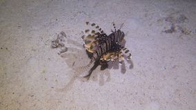 Lion Fish Hunting stock footage