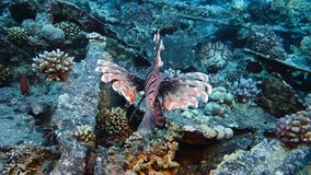 Lion fish hunting. At a colorful coral reef. Full HD underwater footage stock video footage