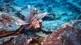 Lion Fish Hunting. At a colorful coral reef. Full HD underwater footage stock video