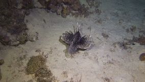 Lion Fish Hunting. At night at a colorful coral reef. Full HD underwater footage stock footage