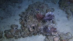 Lion fish hunting. At nig ht at a colorful coral reef. Full HD underwater footage stock video footage