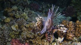 Lion fish hunting. At night at a colorful coral reef. Full HD underwater footage stock video footage