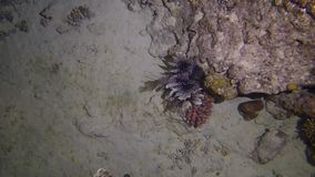 Lion fish hunting. At night at a colorful coral reef. Full HD underwater footage stock video