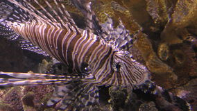 Lion fish in 4K stock video footage