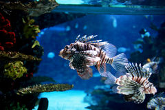 Lion fish Royalty Free Stock Photo