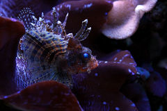Lion fish in Marine aquarium. Coral reef aquarium tank Fish Stock Image