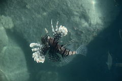Lion fish near a coral. Reef on red Sea Egypt stock image