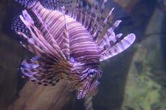Lion Fish-overzees het levenscentrum royalty-vrije stock foto's
