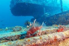 Lion Fish peligroso cerca del naufragio foto de archivo libre de regalías