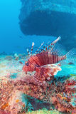 Lion Fish peligroso cerca del naufragio fotografía de archivo