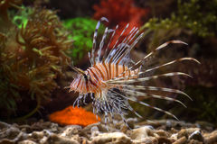 Lion fish. Photo of fish and sea animals, photo taken from the aquarium from one of the marine biota collection center Royalty Free Stock Images