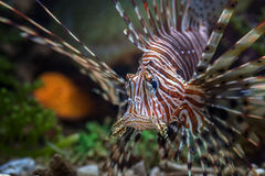 Lion fish. Photo of fish and sea animals, photo taken from the aquarium from one of the marine biota collection center stock photo