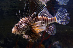 Lion Fish. Poisonous Lion Fish. Often kept as pets in aquariums, but have infested several seas were they devastated the natural inhabitants royalty free stock photography