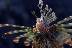 Lion Fish Portrait Underwater Stock Images