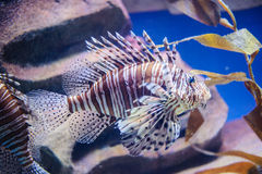 Lion Fish, Pterois. Highly Poisoned Lion Fish in Fish Tank Stock Photos