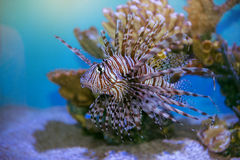 Lion fish Pterois mombasae swimming under water on coral reef Stock Photos