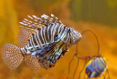 Lion-fish Royalty Free Stock Photos