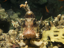 Lion Fish que descansa sobre un pedazo coralino fotos de archivo libres de regalías