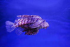Lion fish (Red firefish) in aquarium Royalty Free Stock Image