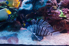 Lion fish Red Sea Stock Photography