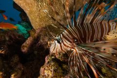 Lion fish in the Red Sea , Eilat Israel a.e Royalty Free Stock Images