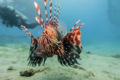 Lion fish in the Red Sea , Eilat Israel a.e Royalty Free Stock Photography