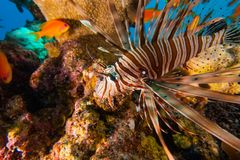 Lion fish in the Red Sea , Eilat Israel a.e Royalty Free Stock Image