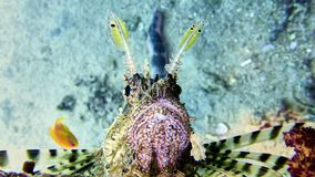 Lion fish in Red sea Stock Photo